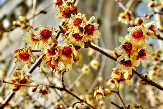 des arbustes fleurs pour l 39 hiver. Black Bedroom Furniture Sets. Home Design Ideas