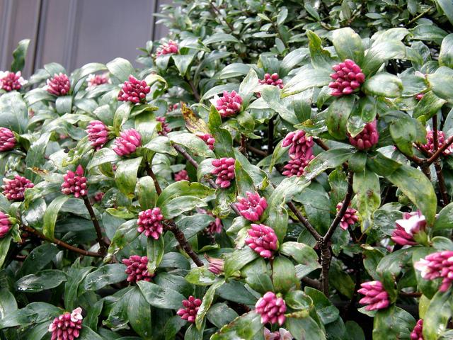 Jardin hiver floraison tout for Arbuste daphne odora aureomarginata