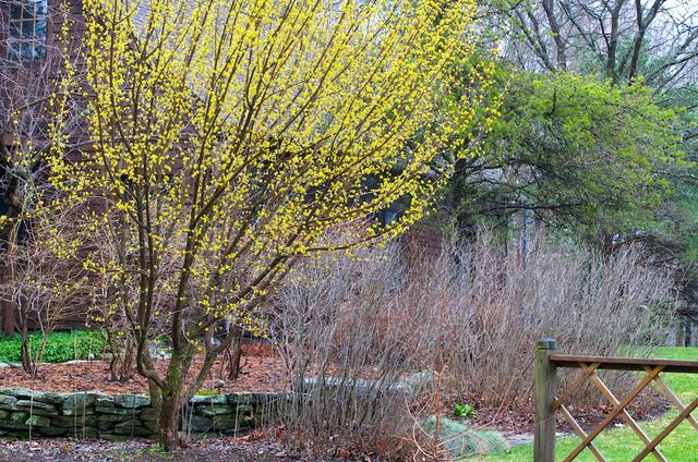 Cornus mas (Des fleurs au coeur de l'hiver)