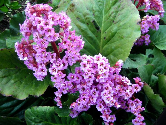 Bergenia cordifolia (Des fleurs au coeur de l'hiver)