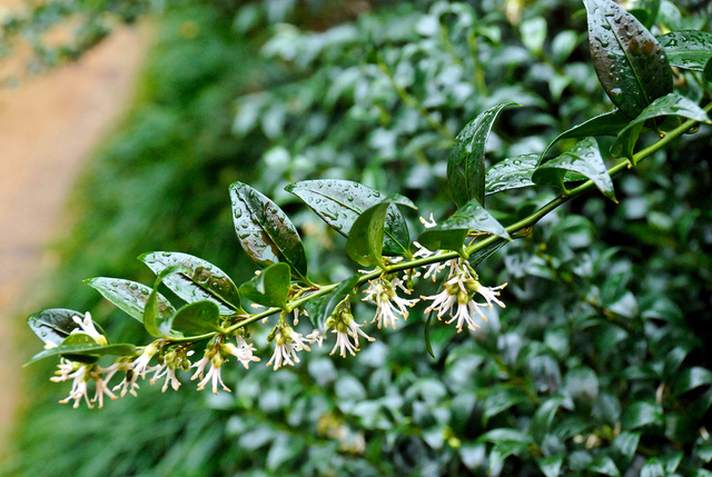 Sarcococca confusa (Des fleurs au coeur de l'hiver)