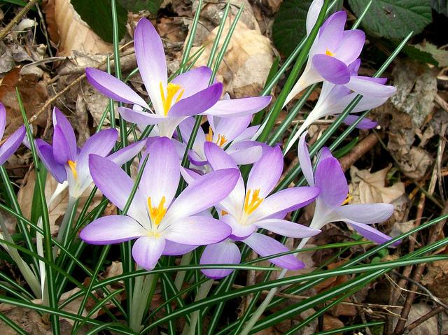 Crocus tommasinianus (Des fleurs au coeur de l'hiver)