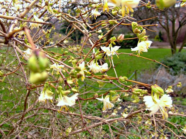 Lonicera fragrantissima (Des fleurs au coeur de l'hiver)