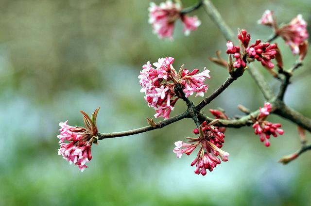 Viburnum bodnantense (Des fleurs au coeur de l'hiver)