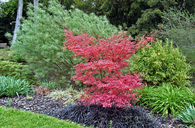 Arbre feuillage rouge - Arbuste japonais persistant ...