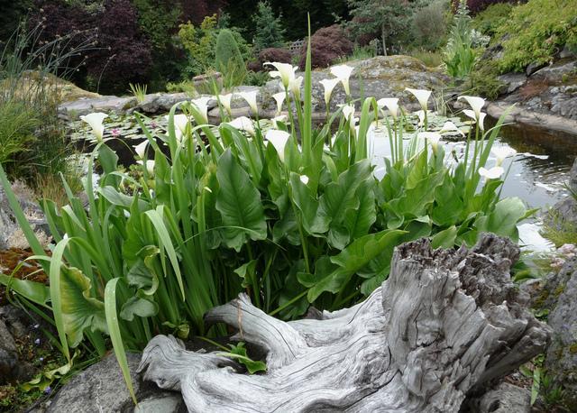 Plantes de berge que planter au bord d 39 une pi ce d 39 eau for Quelle plante autour d une piscine