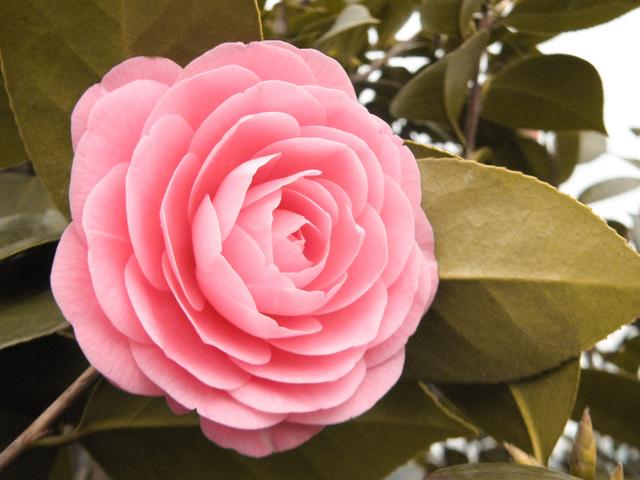 camelia fleur rose id e d 39 image de fleur. Black Bedroom Furniture Sets. Home Design Ideas