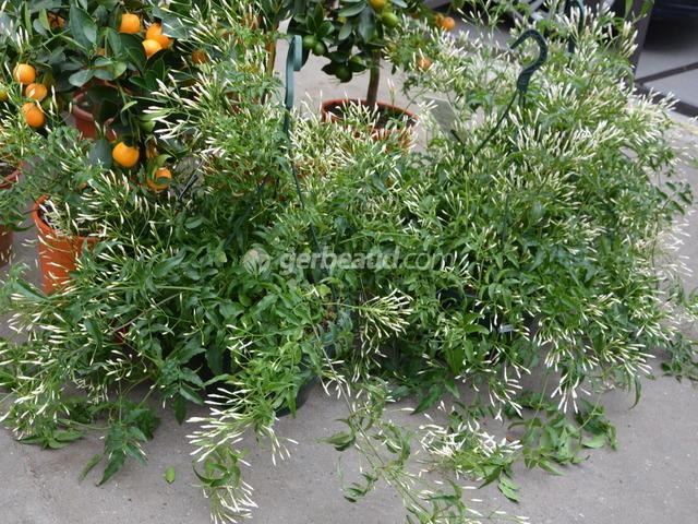 Jasmin blanc d 39 hiver jasminum polyanthum for Plante exterieur hiver