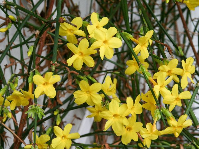 Le Jasmin d'hiver, un arbuste fleuri en hiver et facile à vivre