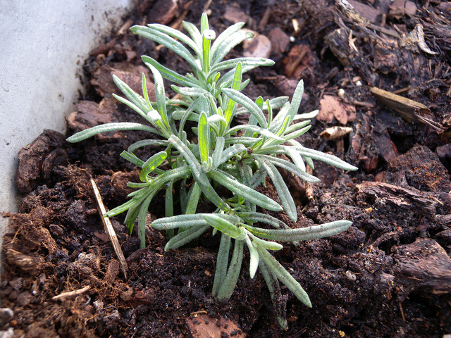 planter une lavande