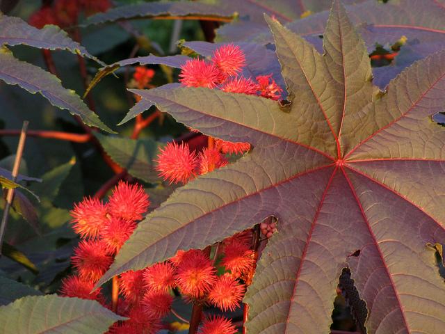 Plantes et arbres feuillage rouge for Plante exterieur fleur rouge