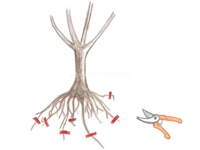 Habillage des racines : principe et conseils mise en oeuvre