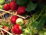 Fraise Rubis des Jardins, une nouvelle variété adaptée au bio