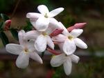 Jasmin blanc d'hiver - Jasminum polyanthum