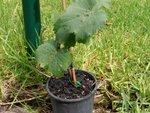 Planter la vigne