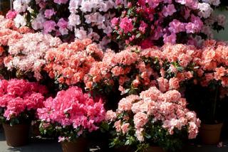 Azalées vendues en fleurs