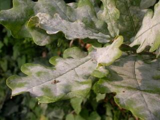 Oidium sur feuilles de chêne