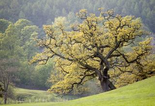 Vieux chêne au printemps
