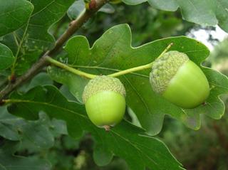 Chêne (Quercus robur) : feuilles et glands