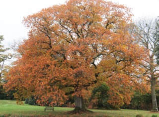 Chêne rouge (Quercus rubra) - Automne