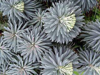 Euphorbe characias au feuillage gris