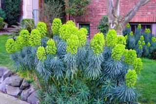 Enphorbia characias
