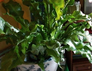 Fougère crocodile - Microsorum musifolium