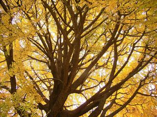 Ginkgo biloba en automne