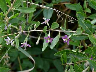 Goji (Lycium barbarum) - Fleurs