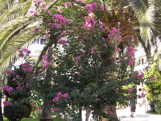 Lagerstroemia indica et palmier