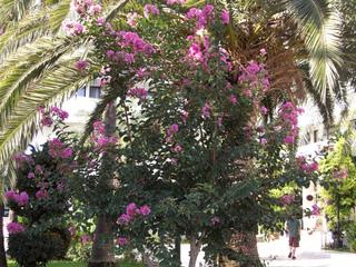 Lagerstroemia indica et palmier