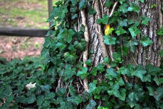 Le lierre est-il nuisible pour les arbres ?