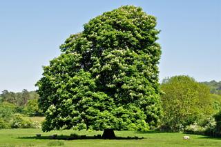 Vieux marronnier (Aesculus hippocastanum)