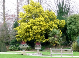 Acacia en fleurs dans un jardin méditerranéen