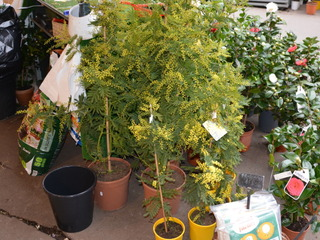 Mimosas vendus en pots