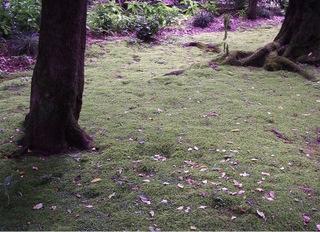 Mousse dans le gazon sous les arbres