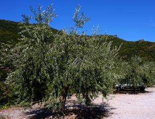 Comment tailler l\'olivier, en image