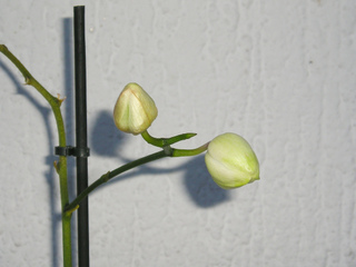 Orchidée Phalaenopsis - Nouvelle floraison sur ancienne tige