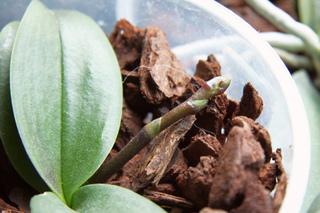 Orchidée Phalaenopsis - Nouvelle floraison