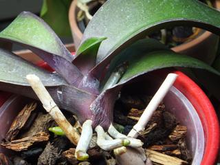 Orchidée Phalaenopsis : tiges florales coupées après floraison