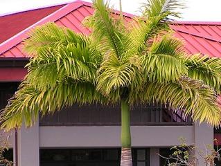 Palmier manquant d'azote