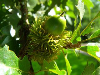 Quercus cerris - Chêne chevelu (gland)