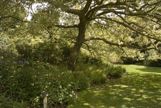 Quercus cerris 'variegata'- Chêne chevelu panaché