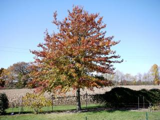 Quercus palustris - Chêne des marais