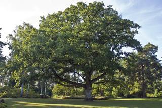 Quercus petraea - Chêne rouvre