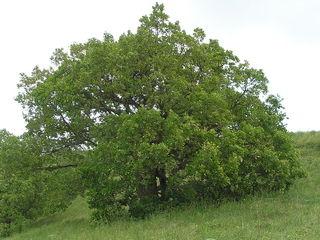 Quercus pubescens - Chêne pubescent