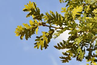 Quercus pyrenaica - Chêne tauzin