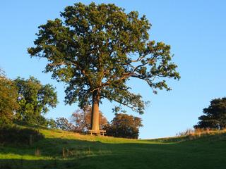 Quercus robur - Chêne pédonculé