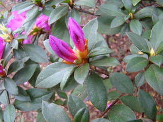 Floraison rhododendron