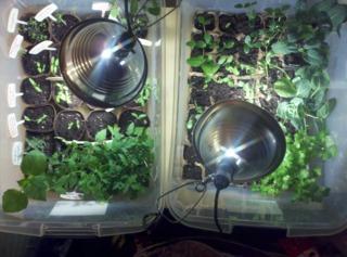Semis en intérieur - Eclairage artificiel
